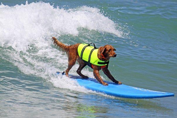 Ricochet, The PAWsome Surfing Dog 2